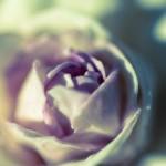 今後使うかもしれない写真2(紫のバラ)